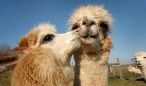 kissing-camels