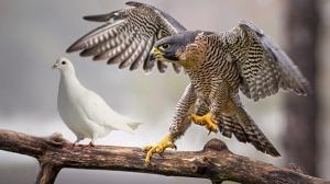dove-hawk-hedb-2014