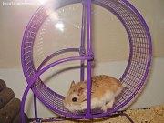 hamster-wheel-race