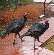 256px-Turkeys_on_path