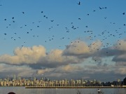 Crows over Vancouver by Charles Kaplan