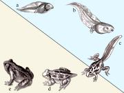 Metamorphosis_frog_Meyers