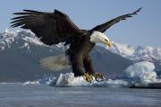 Weißkopf-Seeadler auf der Jagd nach Lachsen