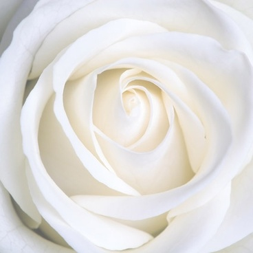 white_roses_picture_166781